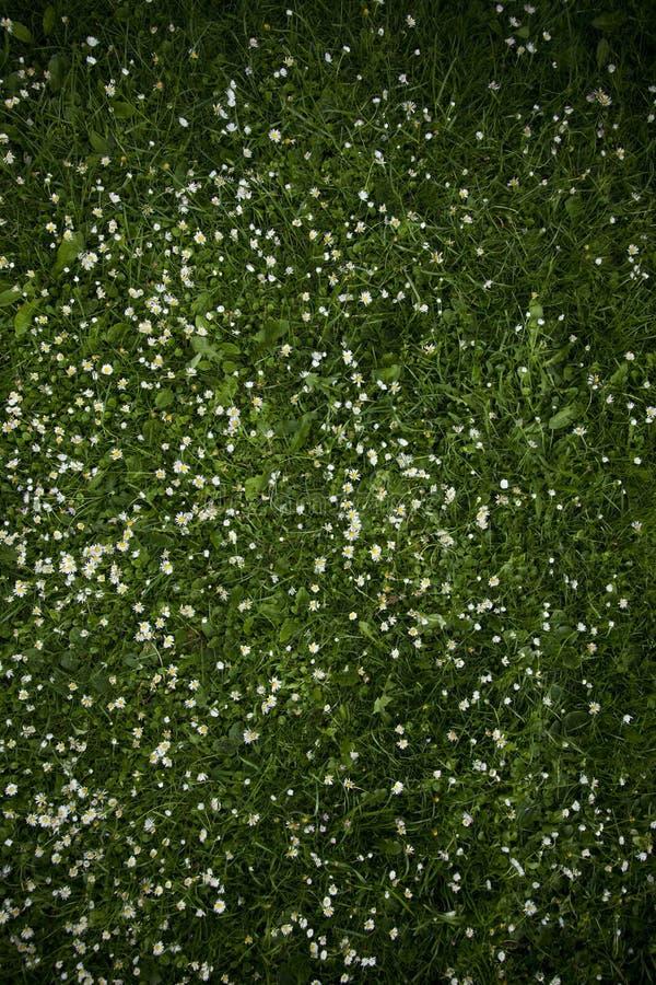 Feld der Gänseblümchenblume stockbilder
