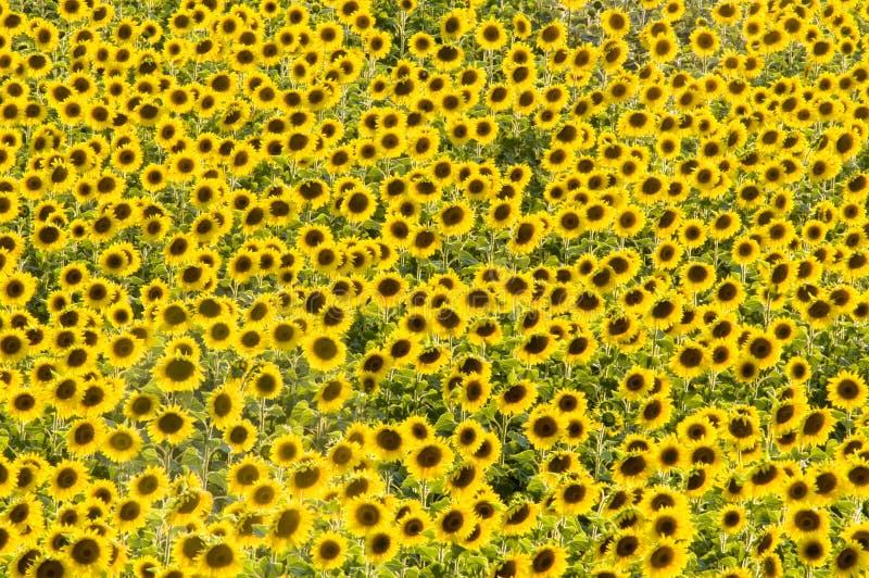 Feld der gelben Sonnenblumen lizenzfreie stockfotografie