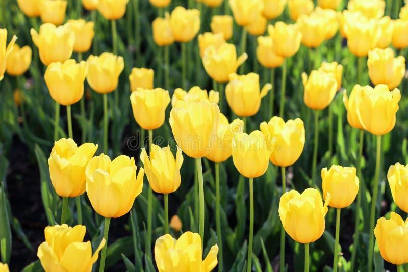 Feld der gelben Tulpen wild stockfotografie