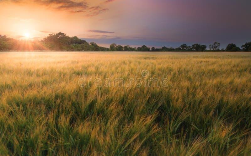 Feld der Gerste bei Sonnenuntergang stockbild