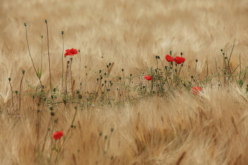 Feld der Gerste und der Mohnblumen stockfotografie