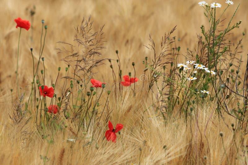 Feld der Gerste und der Mohnblumen lizenzfreie stockbilder