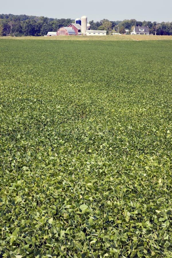 Feld der grünen Soyabohne lizenzfreies stockbild