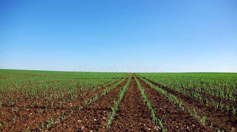 Feld der jungen Maispflanzen. lizenzfreie stockfotografie