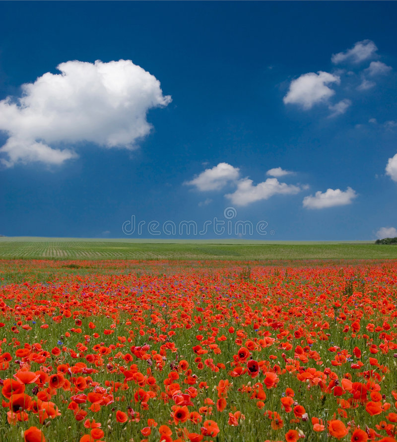 Feld der Mohnblumen mit blauem Himmel lizenzfreie stockbilder