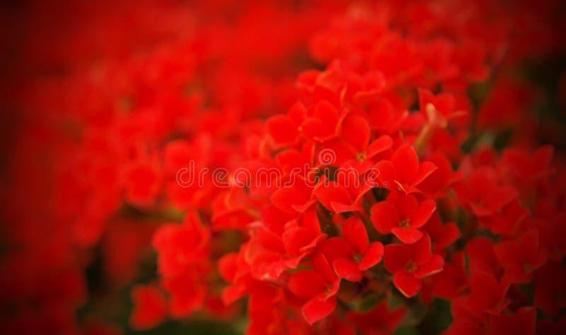 Feld der roten Blumen für Ihren Valentinsgruß lizenzfreies stockfoto