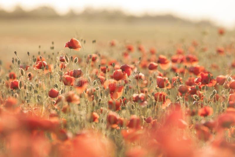 Feld der roten Mohnblumeblumen stockbilder