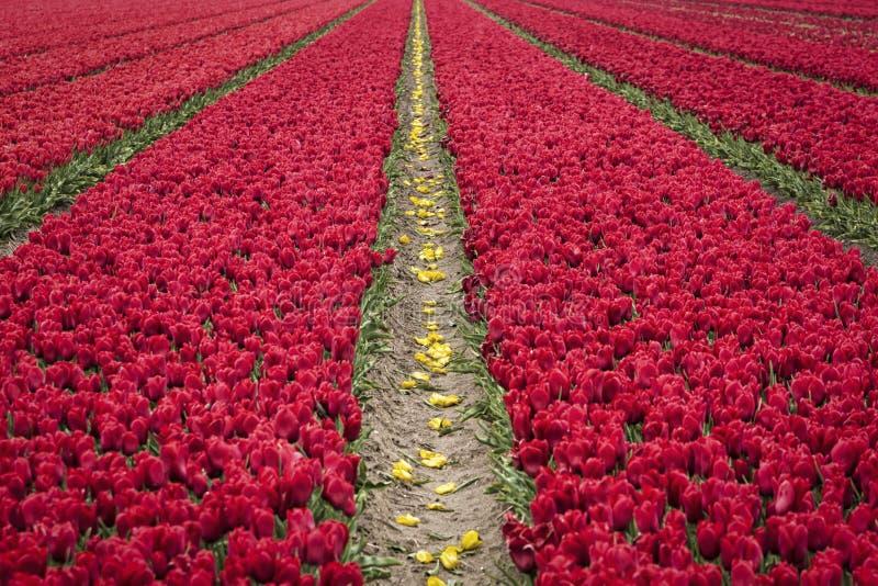Feld der roten Tulpen lizenzfreie stockfotos