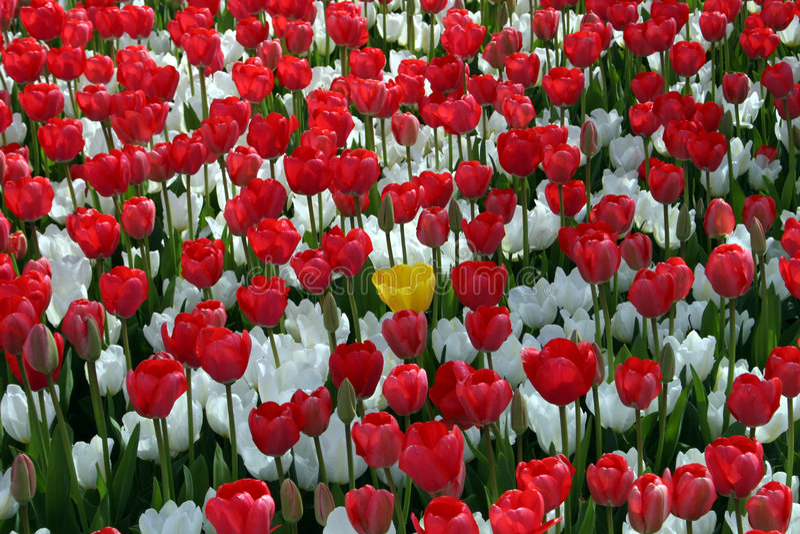 Feld der roten und weißen Blume stockbild