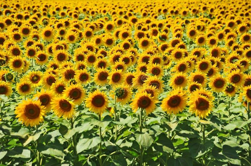 Feld der Sonnenblume (Helianthus) stockbild