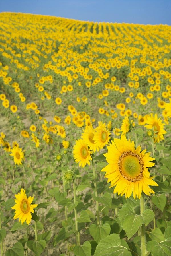 Feld der Sonnenblumen gegen blauen Himmel. lizenzfreies stockbild