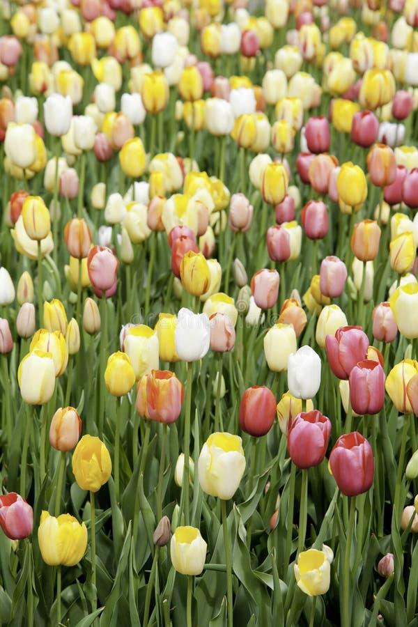 Feld der Tulpen stockfoto