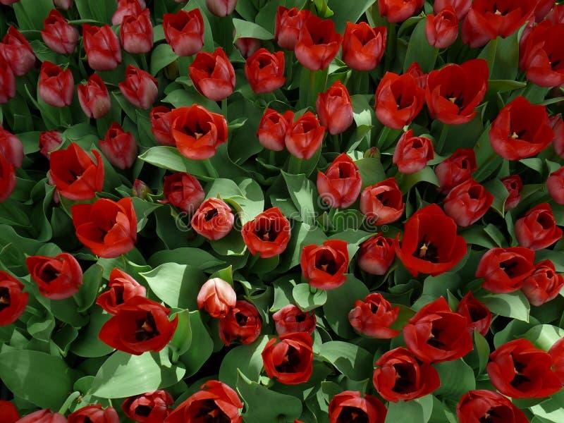 Download Feld Der Tulpen, Draufsicht Stockfoto - Bild von blumen, viele: 27726928