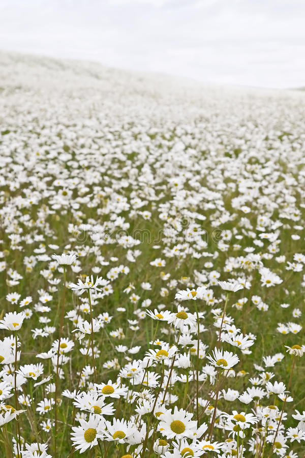 Feld der weißen Gänseblümchen lizenzfreie stockfotografie