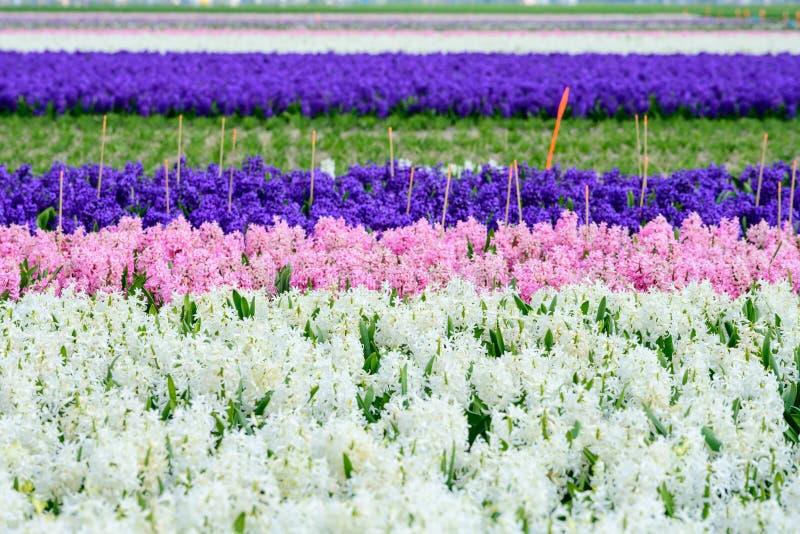 Feld der weißen, purpurroten und rosa Hyazinthe in Holland, bunte Blumen der Frühlingszeit lizenzfreie stockfotos
