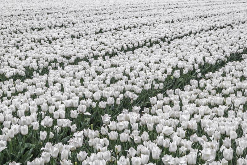 Feld der wei?en Tulpen lizenzfreie stockfotos