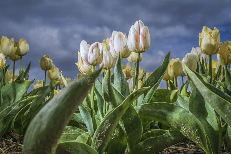 Feld der wei?en Tulpen stockbilder
