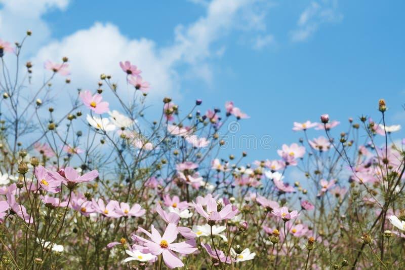 Feld der wilden Kosmosblumen lizenzfreies stockfoto