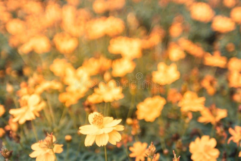 Feld des blühenden gelben Abschlusses herauf schöne Blumen auf Unschärfe bokeh Natur-Hintergrundsonnenuntergang stockfoto