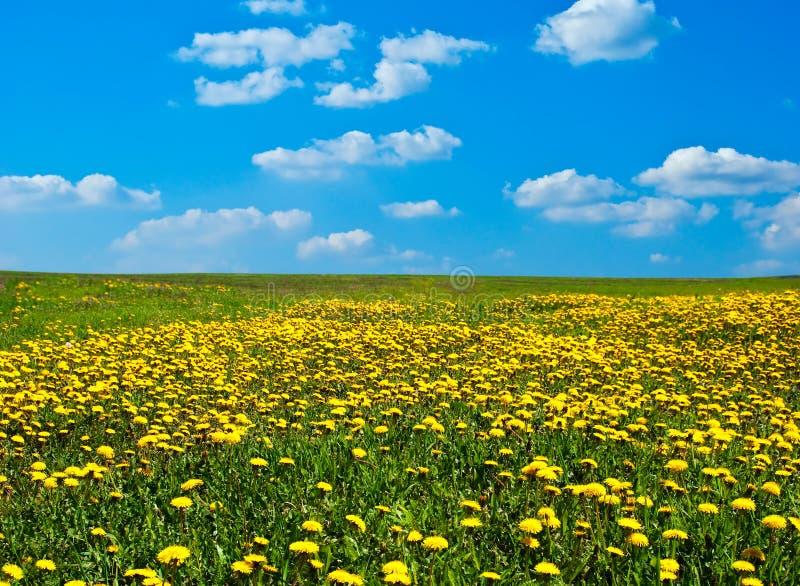 Feld des blühenden Löwenzahns stockbild