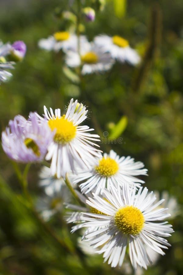 Feld des Gänseblümchenblumenwachsens auf einer grünen Wiese lizenzfreies stockfoto