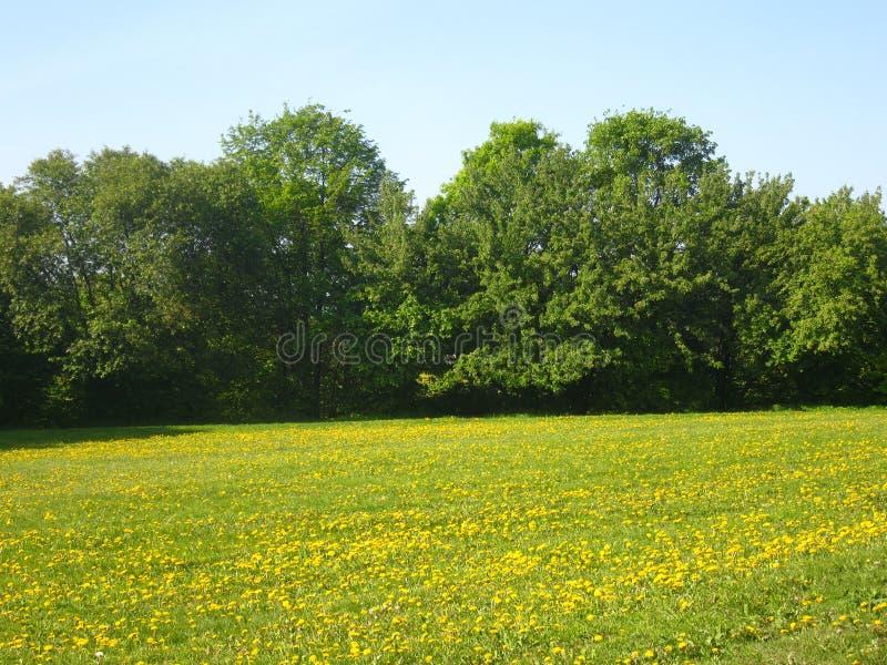 Feld des gelben Löwenzahns und der grünen Bäume stockfotografie