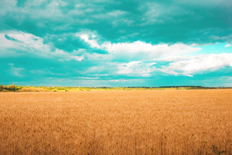 Feld des goldenen Weizens mit aquamarinen Wolken im Himmel lizenzfreies stockbild