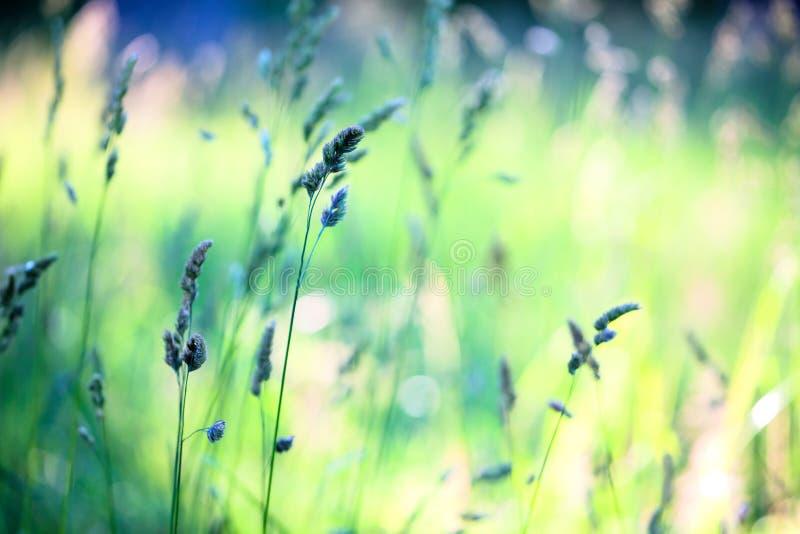 Feld des grünen Grases gegen einen blauen Himmel mit wispy weißen Wolken stockbilder