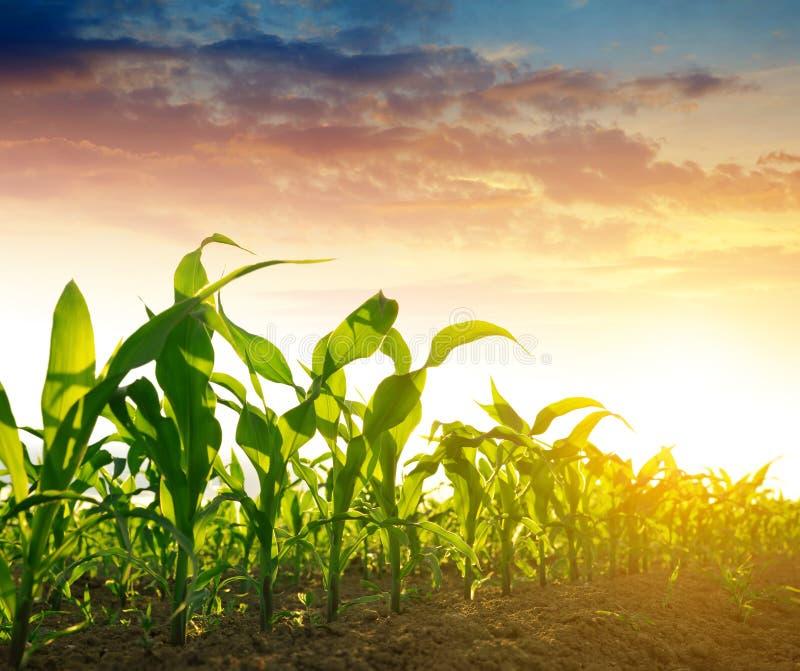 Feld des grünen Mais stockbild