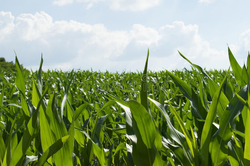 Feld des grünen Mais lizenzfreie stockfotografie