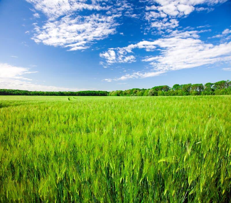 Feld des grünen Roggens und des blauen bewölkten Himmels stockfotografie