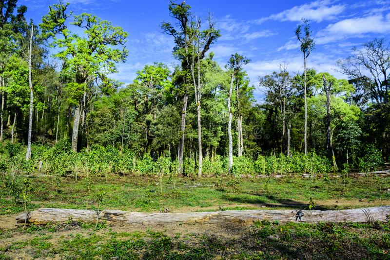 Feld des grünen Tees im Regenwald lizenzfreie stockfotografie