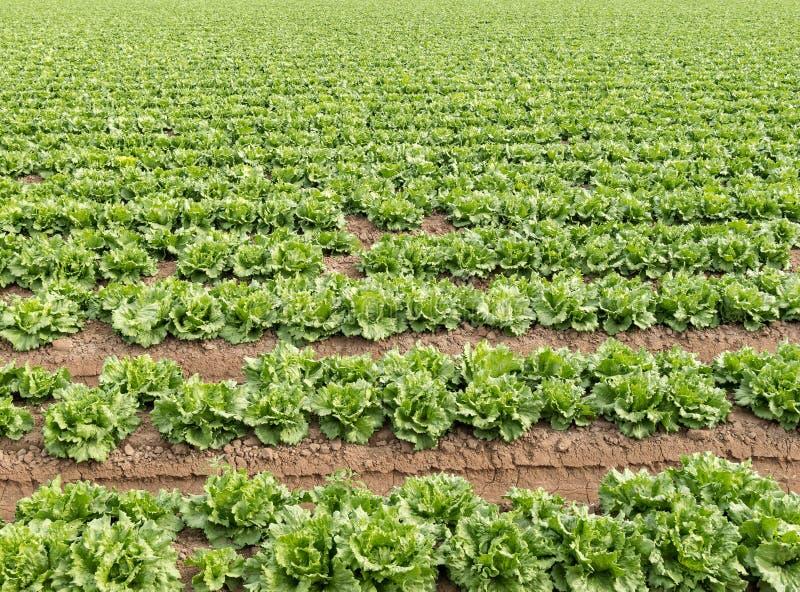 Feld des Kopfsalates stockfoto