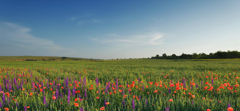 Feld des Lavendels, des Weizens und der Mohnblumen stockfoto