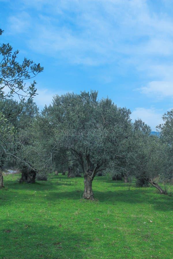 Feld des Olivenbaums Gr?nes Gras mit blauem Himmel lizenzfreie stockfotos