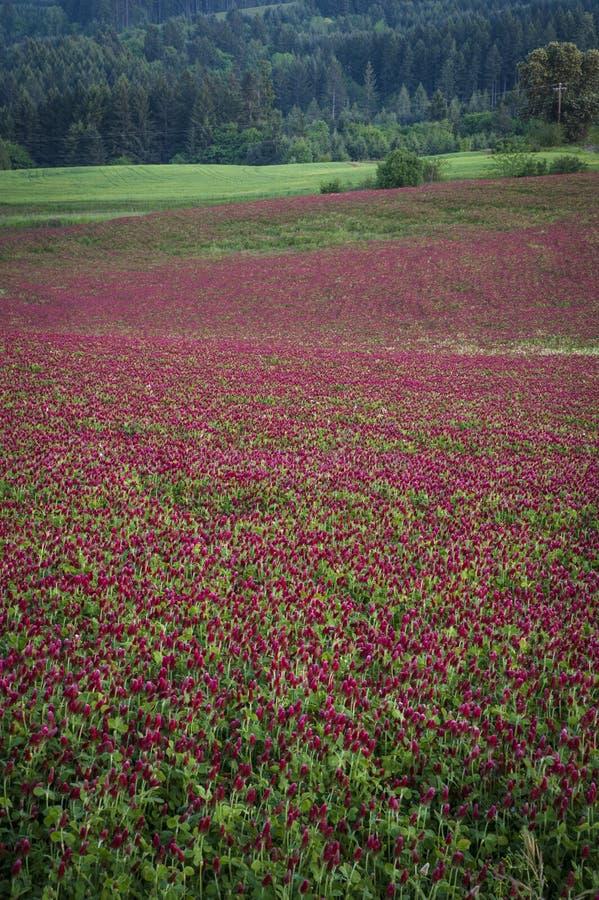 Feld des purpurroten Klees lizenzfreies stockbild
