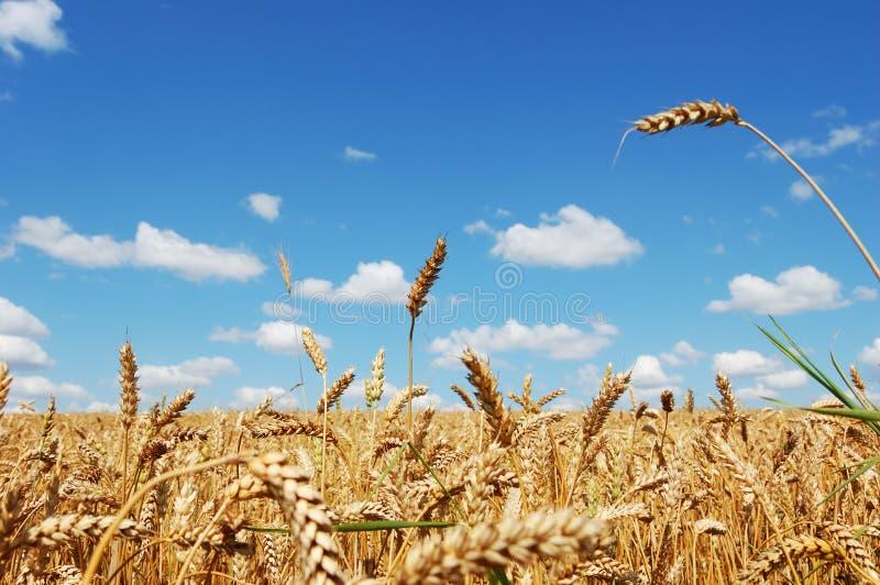 Feld des reifen goldenen Weizens lizenzfreie stockfotografie