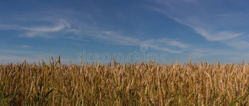 Feld des reifen Weizens gegen den blauen Himmel lizenzfreie stockfotos