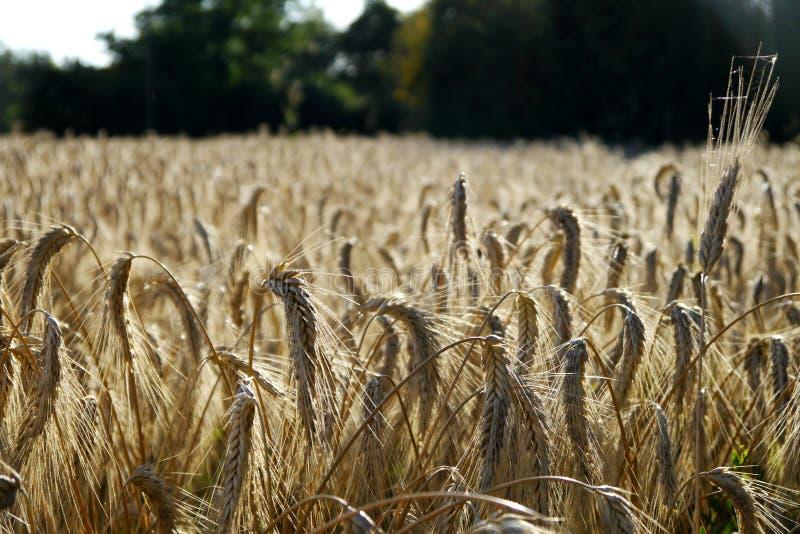 Download Feld des Weizens stockbild. Bild von weizen, getreide - 26359611