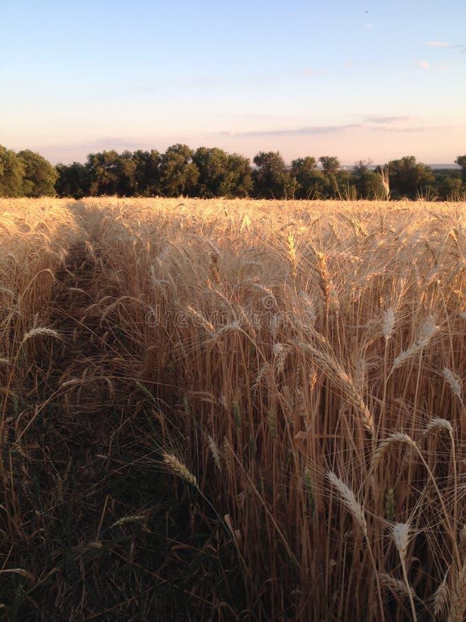 Feld des Weizens stockfotos