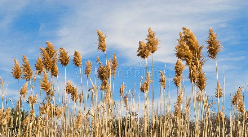 Feld des Weizens und des Himmels lizenzfreies stockbild
