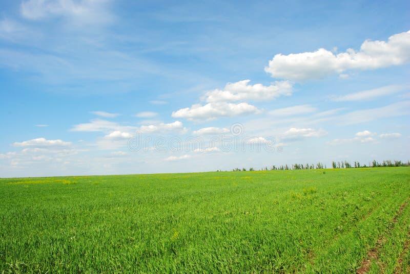 Feld des Winterweizens im Frühjahr entlang Bäumen, sonnigem Himmel und Wolken stockfotos