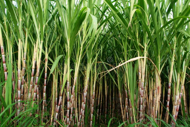 Feld des Zuckerrohrs lizenzfreie stockfotos