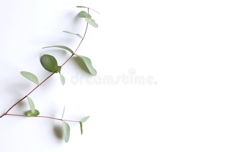 Feld, Ecke gemacht von den grünen Eukalyptusblättern und Niederlassungen auf weißem Hintergrund Vektorabbildungskala zu irgendein lizenzfreies stockfoto