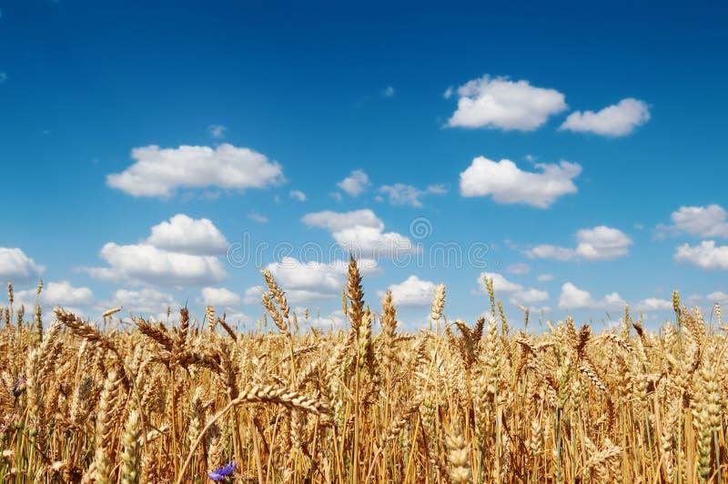 Feld eines goldenen reifen Weizens lizenzfreies stockfoto