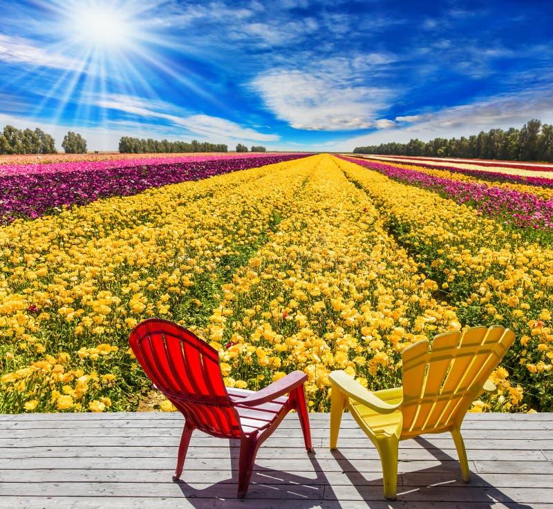 Feld für Bearbeitung von Garten Ranunculus lizenzfreie stockfotos
