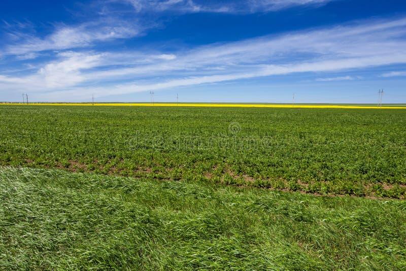 Feld gepflanzt mit Kartoffeln mit Farben eines Gelbstreifens stockfoto