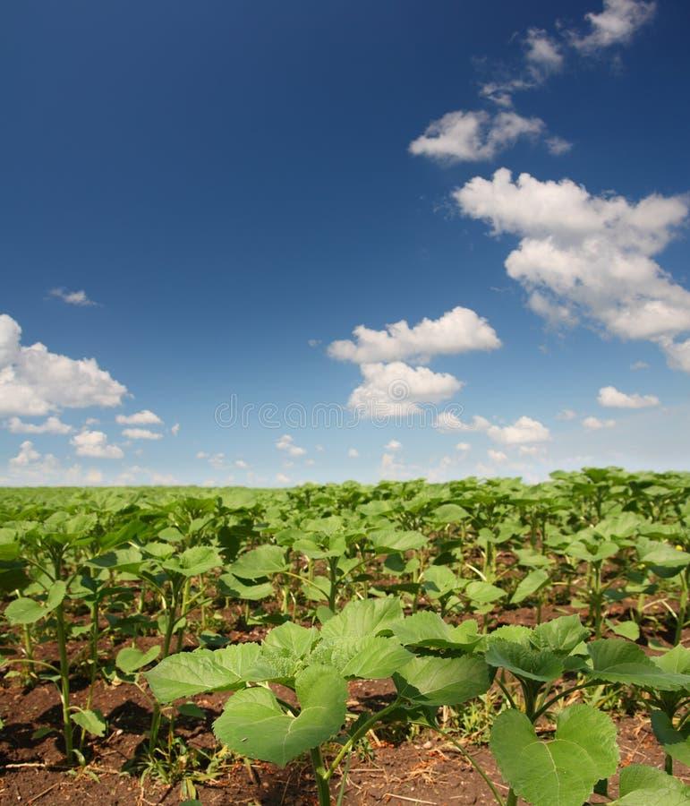 Feld mit Anfangsonnenblumen lizenzfreies stockfoto