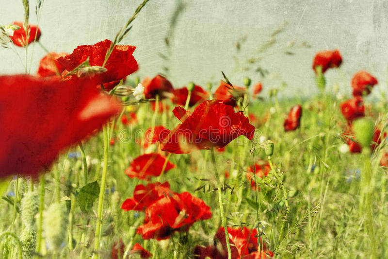 Feld mit Blume der Mohnblume stockfoto