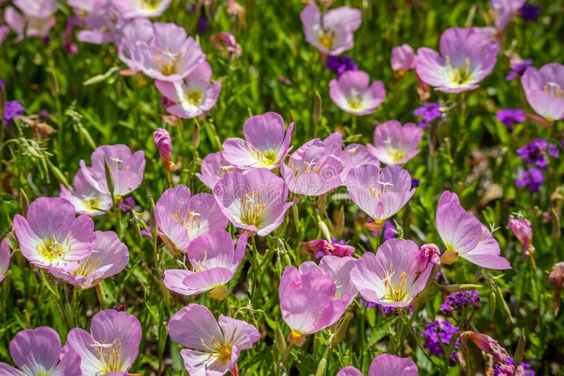 Feld mit bunter Violet Wildflowers in Hagerman-Schutzgebiet, Texas stockbilder